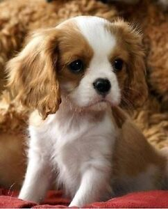 King Charles cavalier puppy wanted Sale Wellington Area Preview