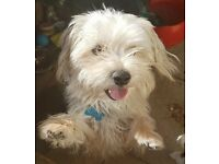 LOVELY CALM 13 MONTH MALE MALTESE x YORKIE