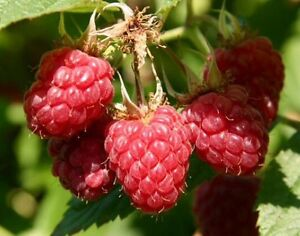 Support 4-H!  Raspberry plants - 150 to sell!