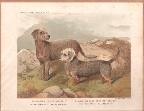 Vintage Art Print Bedlington Terrier Dandie Dinmont from Cassell