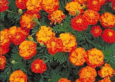 FRENCH MARIGOLD SPARKY MIX 75 FRESH SEEDS FREE USA SHIPPING