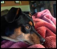 "Young Female Dog - Miniature Pinscher: ""MARLEY"""