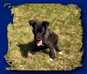 """Baby Male Dog - Labrador Retriever-Border Collie: """"Bowe"""""""
