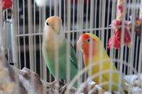 *****URGENT!!!***** PRICE NEGOTIABLE! TWO LOVERBIRDS WITH CAGE!