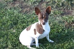 ADORABLE CHOCOLATE AND WHITE FEMALE CHIHUAHUA X FOR ADOPTION