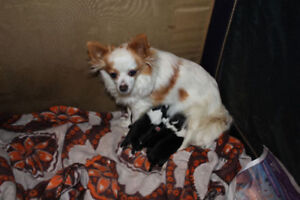 Long Hair chihuahua baby and mother avail