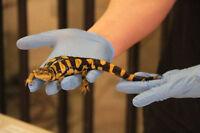 Salamander Shows