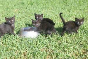 Free kittens Moore Creek Tamworth Surrounds Preview