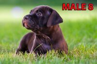 American Bandogge Mastiff Puppies - Only 2 left! - Vaccinated