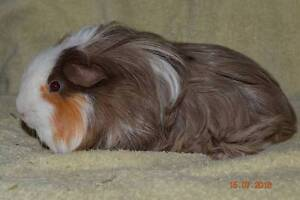 Guinea Pig Rescue and Rehoming In Adelaide Elizabeth Playford Area Preview