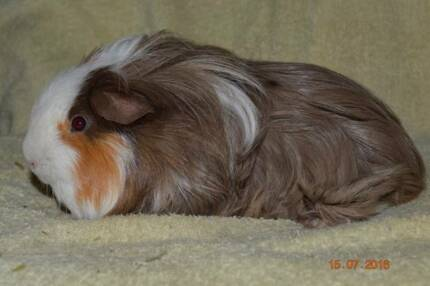 Guinea Pig Rescue and Rehoming In Adelaide