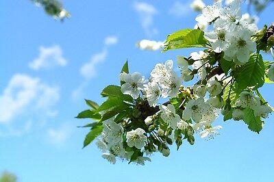 Kirschblüten sehen zauberhaft aus!