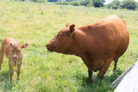 Red Limousin cow and calf
