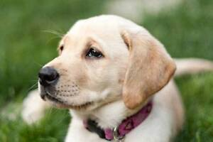 Wanted! Labrador Puppies Sellicks Beach Morphett Vale Area Preview