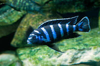 Super Colorful Demasoni Juveniles Now Available - Prices in Ad