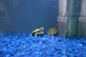 red ear slider baby turtle for sale at T T pets