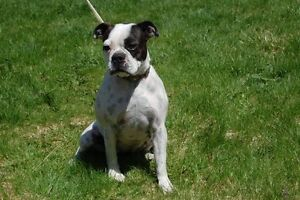 Trying to Find a Boston Terrier