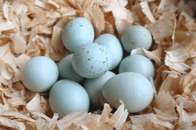 25 Celadon Blue Coturnix Quail Hatching Eggs - Npip
