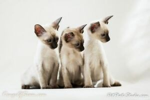 Siamese Kittens available - short hair cat kitten lovers