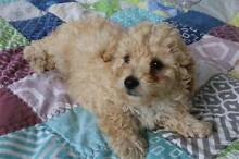Male Toy Poodle Kuraby Brisbane South West Preview