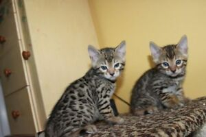 6 purrfect tricolor bengal cubs! Amazing spots! 3boys 3 girls