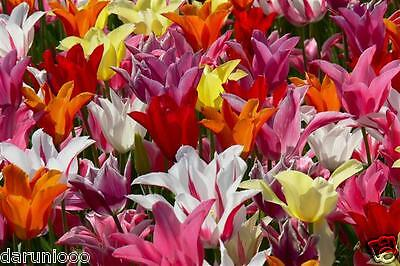 10 BULBS DWARF TULIPS WILDFLOWER MIX GARDENING SPRING SUMMER FLOWER PERENNIAL