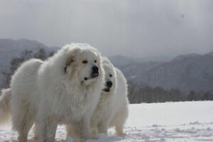 WANTED: LOOKING FOR LARGE *LIVESTOCK GUARDIAN BREED K-9