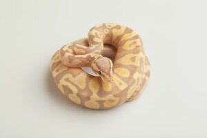 Banana Ball Pythons (a few different morphs available)