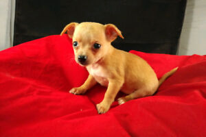 Looking For A Teacup Yorkie/Chihuahua/Malteste/Pomeranian/Mix