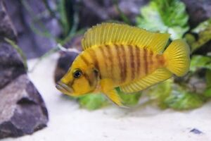 Tropical fish, cichlid & goldfish sale Rocklea Brisbane South West Preview