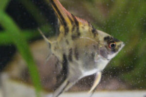 10 week old Angelfish | 3 for $10! | FREE K-W DELIVERY