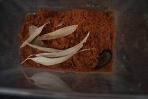 2 Giant Burrowing Cockroaches + Kit Available. North Sydney North Sydney Area Preview