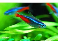 Two neon tetras looking for a loving home