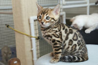 Any Bengal Kittens Available?