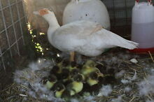 Muscovy Ducklings Inverell Inverell Area Preview