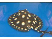 Freshwater Black Diamond Stingrays Fish For Sale