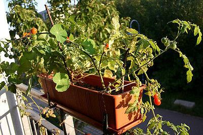 Tomaten sind perfekt für den Anbau auf dem Balkon.