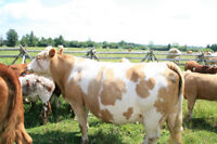 Simmental Cow and Calf
