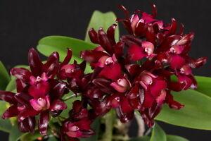 Cattleya Ctt. Sagarik Wax - Orchidee -