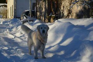 Promeneur de chien (terre neuve, bouvier, golden)
