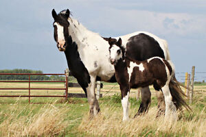1 1/2 year old Gypsy Vanner Stud Colt