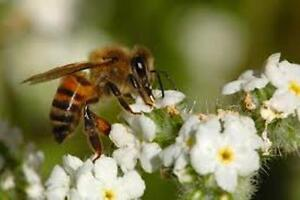 Honey Bees Removal Free