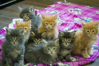Purebred TICA registered Maine Coon kittens