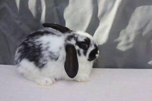 Beautiful Baby Boy Mini Lop Bunny Rabbit - READY NOW Pakenham Cardinia Area Preview