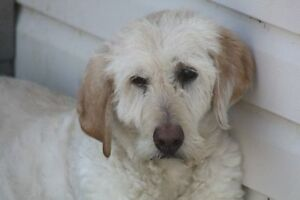 ADOPT JANEWAY THE GOLDENDOODLE