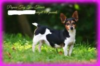 toy fox terriers for sale