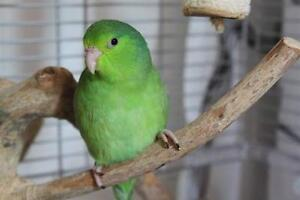 SMALL PARROT FOR SALE