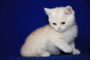 BRITISH SHORTHAIR  -SCOTTISH STRAIGHT KITTEN