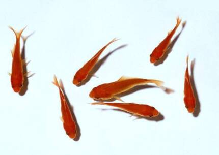 Gold Fish Perfect for Fish Pond 12cm Comets 10 for $100.00