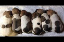 Fox Terrier X Jack Russell Puppies Canowindra Cabonne Area Preview
